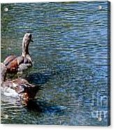 Duck Duck Acrylic Print