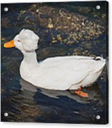 White Crested Duck Acrylic Print