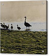 Duck Family Panorama Acrylic Print by Bill Cannon