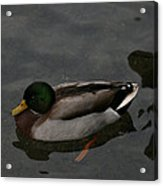 Duck Floating Around Acrylic Print