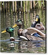 Duck Good Friends 2 Acrylic Print