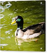 Duck In The Park Acrylic Print