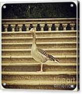 Duck In The Stair Acrylic Print