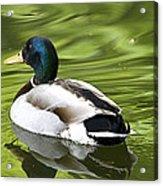 Duck On A Green Pond Acrylic Print by Tony Reddington