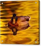 Duck On Golden Water Acrylic Print