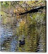 Duck On Pond Acrylic Print