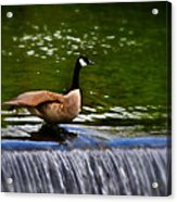 Duck On The River Wye Waterfall - In Bakewell Peak District - England Acrylic Print