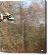 Duck On The Run Acrylic Print