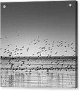 Duck Over Lake 1 B_w Acrylic Print
