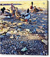 Duck Parade On The Beach Acrylic Print