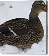 Duck Playing In The Snow Acrylic Print