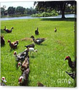 Duck Season Acrylic Print