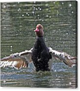 Duck Take Off. Acrylic Print