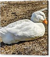 Duck Taking A Nap Acrylic Print