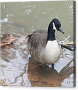 Duck Wading In A Stream Acrylic Print