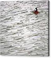 Duck Wake Acrylic Print