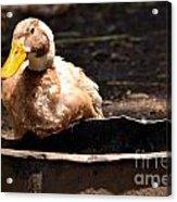 Duck Water Bowl Acrylic Print