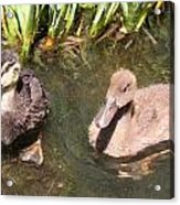 Duckies In The Pond Acrylic Print