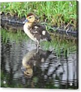Duckling With Reflection Acrylic Print