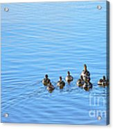 Ducklings Day Out Acrylic Print by Kaye Menner