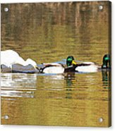 Ducks And Egret Acrylic Print