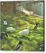 Ducks At The Park Acrylic Print