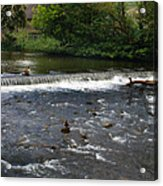 Ducks Enjoying The Open Air Acrylic Print