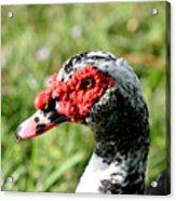 Duck's Eye Acrylic Print