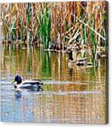 Ducks In A Marsh Acrylic Print