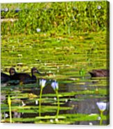 Ducks In Lily Pond Acrylic Print