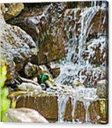 Ducks In The Falls Acrylic Print