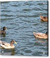 Ducks On Spaulding Pond Acrylic Print