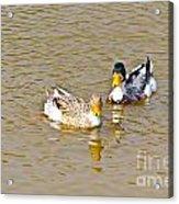 Ducks Pair Looking To Camera Acrylic Print