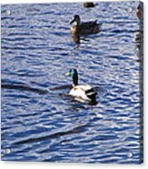 Ducks Swimming  Acrylic Print