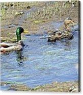 Ducks Unlimited Acrylic Print