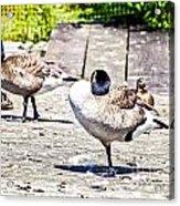 Ducky Dance Acrylic Print
