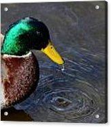 Ducky Dribble Acrylic Print