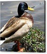 Ducky Duck Acrylic Print
