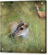 Duiker Endangered Antelope Acrylic Print