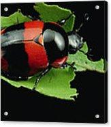 Dung Beetle Panama Acrylic Print