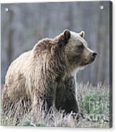 Dunraven Grizzly Acrylic Print