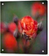 Dusk Romantic Rose Acrylic Print