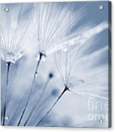 Dusty Blue Dandelion Clock And Water Droplets Acrylic Print