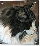 Dusty Our Handsome Norwegian Forest Kitty Acrylic Print