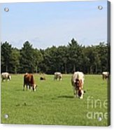 Dutch Landscape With Cows Acrylic Print
