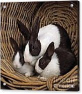 Dutch Rabbit With Young Acrylic Print by E A Janes