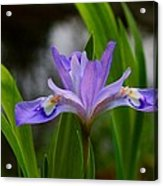Dwarf Crested Iris Acrylic Print
