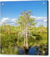 Dwarf Cypress Trees In A Field Acrylic Print