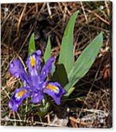 Dwarf Lake Iris Acrylic Print