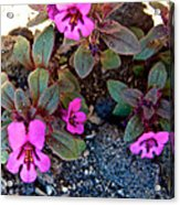 Dwarf Purple Monkeyflower In Lava Beds Nmon-ca Acrylic Print